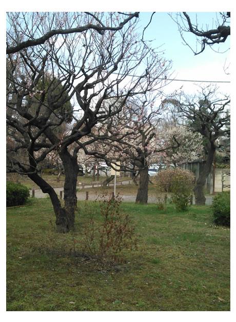 芝公園_3_桜